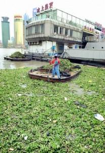 Водяные гиацинты атакуют Шанхай